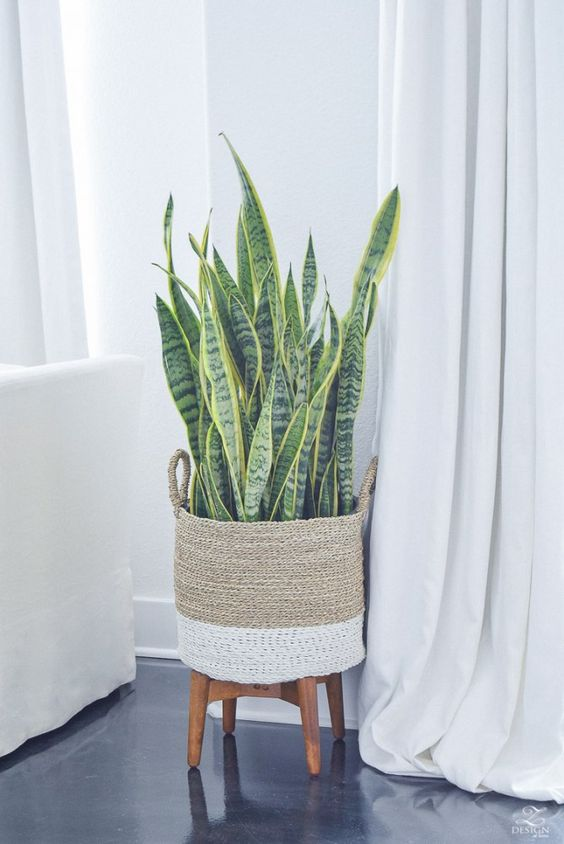 Sansevieria plant in mand