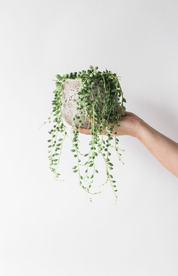 erwtenplantje hangplant
