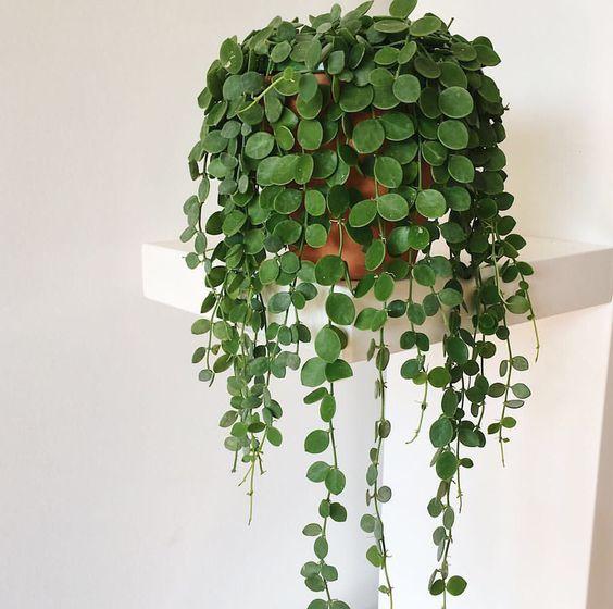 hangplant dubbeltjesplant