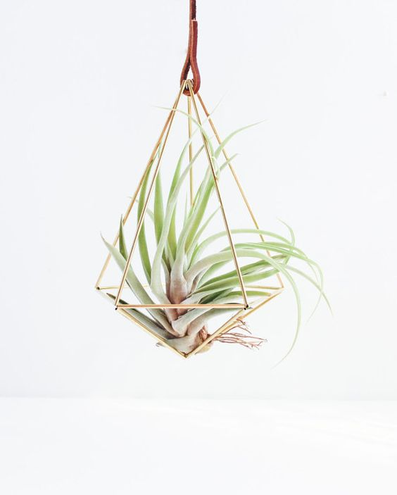 Luchtplant Tillandsia