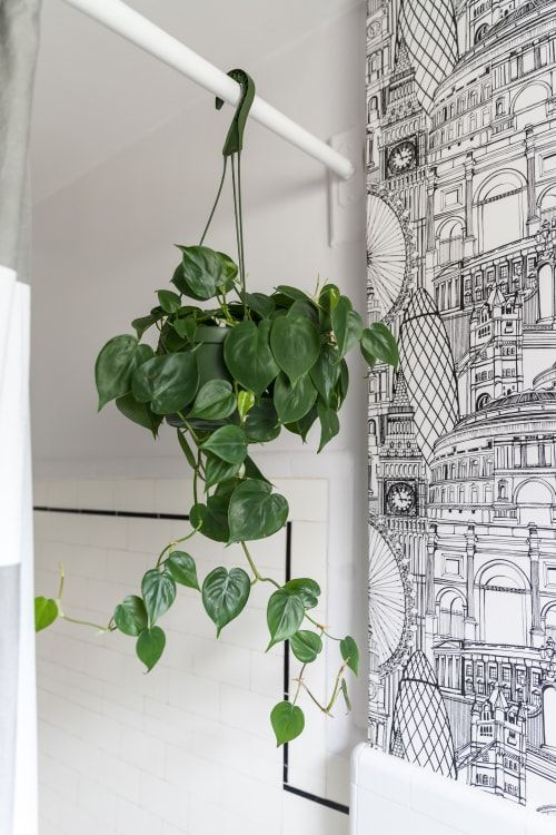 hangplant philodendron
