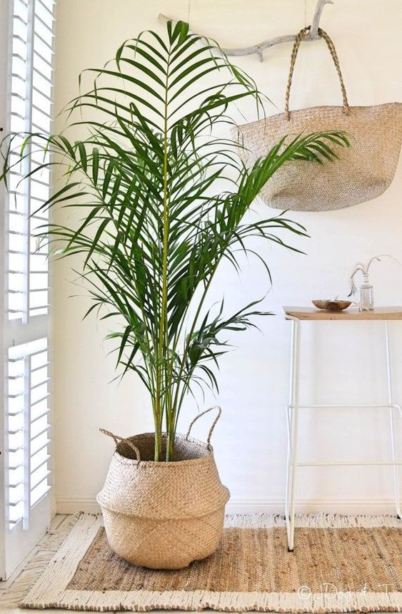 Howea forsteriana - Kentia palm in mand