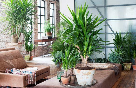 Kleine Yucca plant