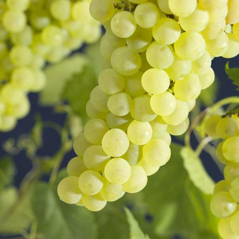 klimplanten Vroege van der Laan druiven