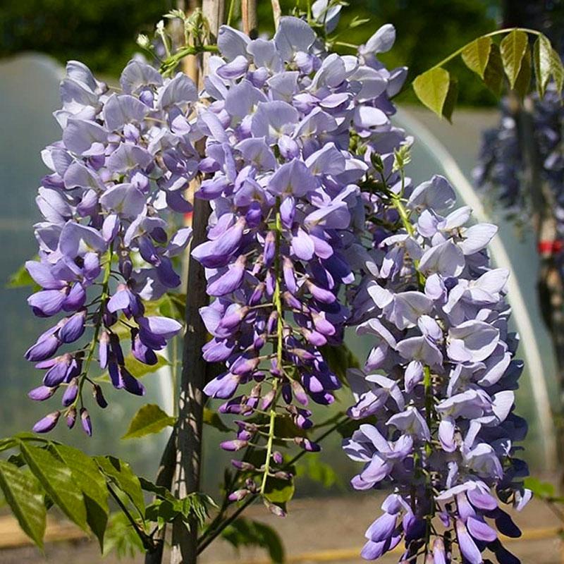 klimplanten Wisteria sinensis Prolific