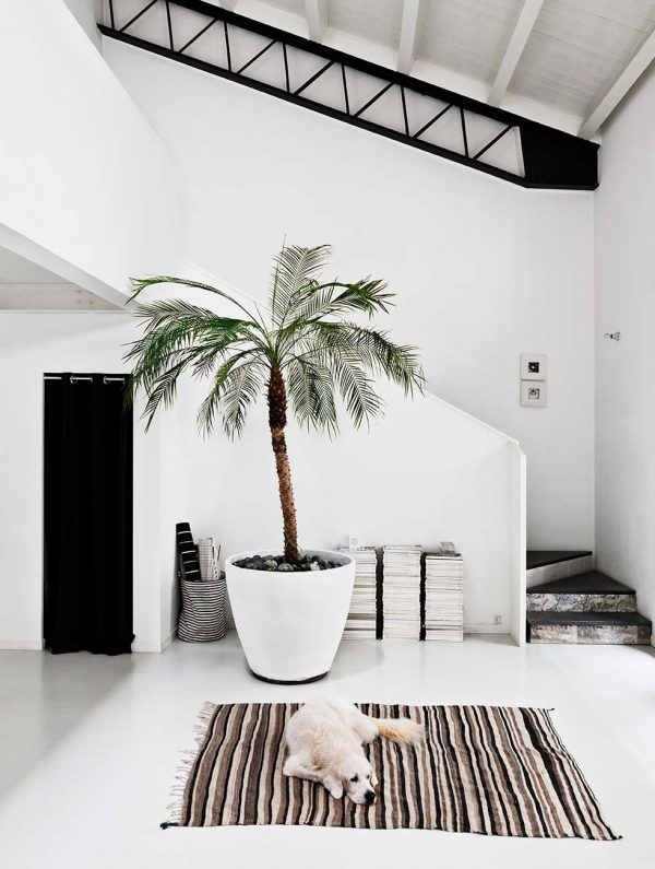 palmboom plant