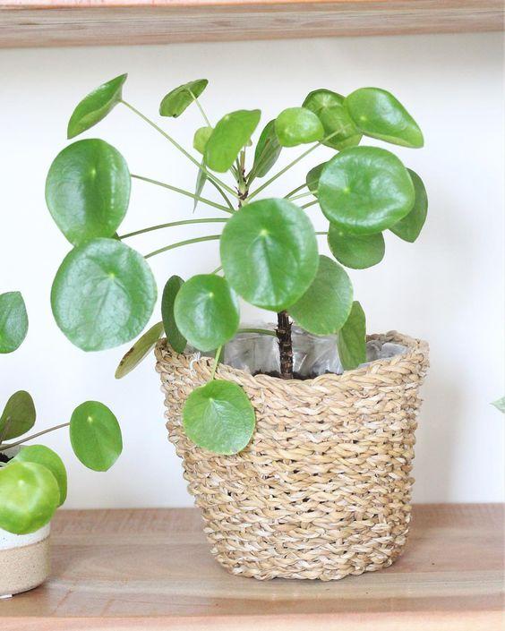 Pilea Peperomioides - Pannenkoekenplant in mand