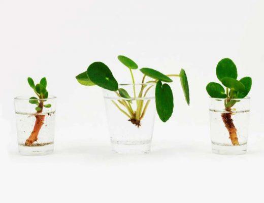 Pannenkoekplant stekjes stap 3
