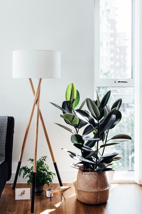 Rubberplant - Ficus elastica in mand