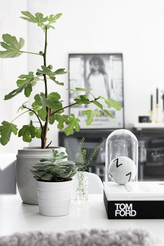 vijgenboom-in-het-interieur-klein