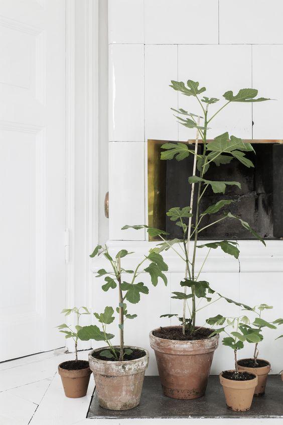 vijgenboom-in-het-interieur-meerdere