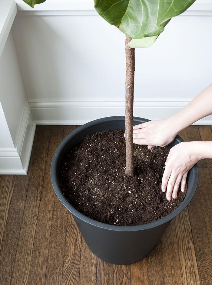 Vijgenboom verpotten