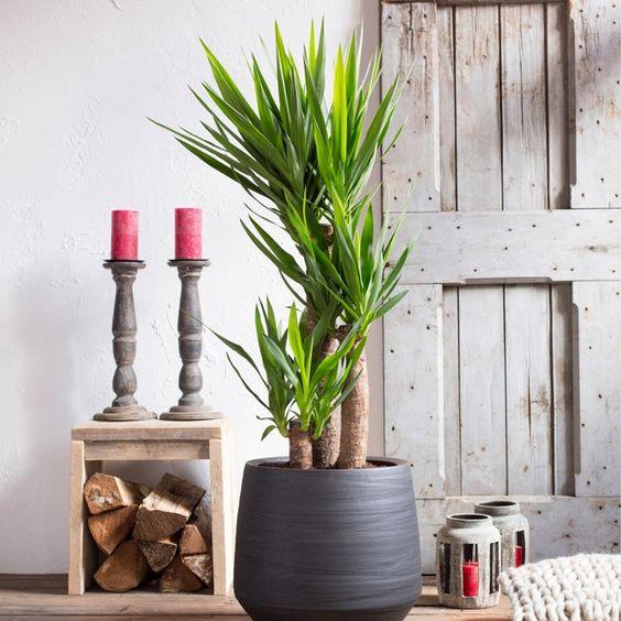 Yucca plant pot